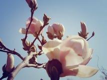 magnolia in the sun stock images