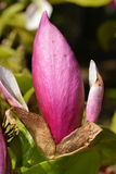 Magnolia Bud Stock Photography