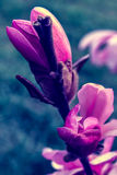 Magnolia bud on early spring stock photo