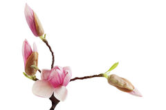 Magnolia Bud Flower Royalty Free Stock Images