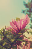 Magnolia bud Stock Photos