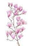 Magnolia bud stock image