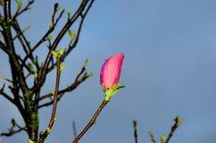 Magnolia bud. The magnolia bud after rain Stock Photography