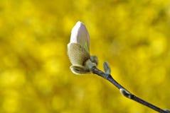 Magnolia bud shortly before blossom Royalty Free Stock Image