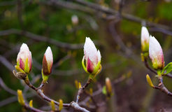 Magnolia bud on a tree close up in spring park Royalty Free Stock Images