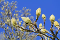 Magnolia buds before blooming Royalty Free Stock Photo