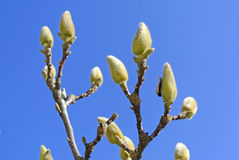 Magnolia buds before blooming Stock Photography