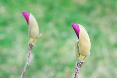 Magnolia buds blossoming in the spring Stock Images