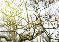 Magnolia buds tree. Magnolia buds on branches in winter park with sun flare Stock Image