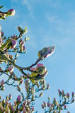 Magnolia buds flower Royalty Free Stock Photos