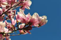 Magnolia buds and flowers in bloom. Detail of a flowering magnolia tree against a clear blue sky. Large, light pink spring blossom. S with copy space Royalty Free Stock Image