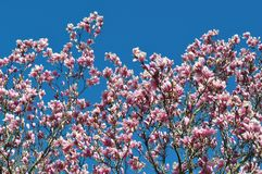 Magnolia buds and flowers in bloom. Detail of a flowering magnolia tree against a clear blue sky. Large, light pink spring blossom. S with copy space stock photos