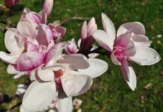 Magnolia buds and flowers in bloom. Detail of a flowering magnolia tree against a clear blue sky. Large, light pink spring blossom. S with copy space Stock Image