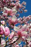 Magnolia buds and flowers in bloom. Detail of a flowering magnolia tree against a clear blue sky. Large, light pink spring blossom. S with copy space Stock Photo