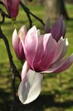 Magnolia buds and flowers in bloom. Detail of a flowering magnolia tree against a clear blue sky. Large, light pink spring blossom. S Royalty Free Stock Photography