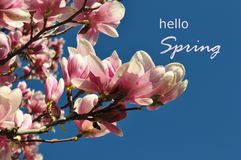 Magnolia buds and flowers in bloom. Detail of a flowering magnolia tree against a clear blue sky. Large, light pink spring blossom. S with copy space. Hello Royalty Free Stock Photos