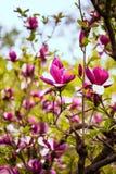 Magnolia buds Stock Photo