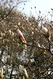 Magnolia Buds. A sea of Magnolia buds just about to open in springtime Stock Image