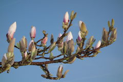 Magnolia Buds. White / pink magnolia buds against blue sky Royalty Free Stock Images