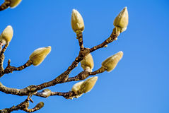 Magnolia buds in winter Royalty Free Stock Photography