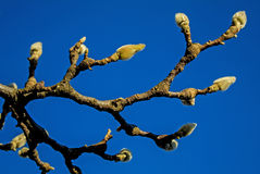 Magnolia buds in winter Stock Photography