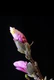 Magnolia bulb Stock Photo