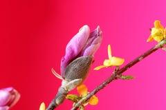 Magnolia bulb Stock Image