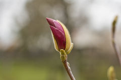 Magnolia bulb Royalty Free Stock Photos