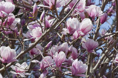 Magnolia Bursts into Bloom Royalty Free Stock Photography