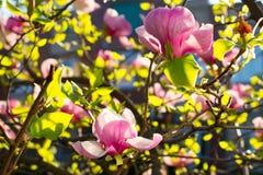Free Magnolia Bush. Stock Photos - 54024873