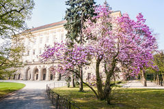 Magnolia bush in bloom before the castle kromeriz Royalty Free Stock Photography