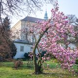 Magnolia bush in bloom before the castle kromeriz Stock Photo