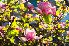 Magnolia bush. Stock Photos
