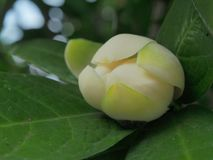 Magnolia c0c0 Royalty-vrije Stock Foto