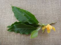 Branch of champak - Flower, bud and leaves - Yellow or orange flower - Jute background Stock Photo