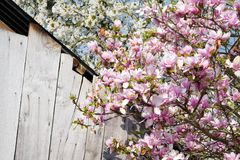 Magnolia and cherry tree in flowers Royalty Free Stock Photo