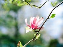 Magnolia in cielo blu soleggiato Fotografie Stock