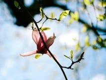 Magnolia in cielo blu soleggiato Immagini Stock