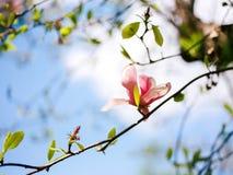 Magnolia in cielo blu soleggiato Immagini Stock Libere da Diritti