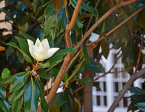 Magnolia in city park. Magnolia flower on the tree in the city park Royalty Free Stock Images