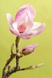 Magnolia closeup Royalty Free Stock Images