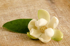 Magnolia coco plants  on a background of old wood Stock Photography