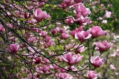 Magnolia - colore rosa Immagini Stock Libere da Diritti