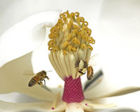 Magnolia contre des abeilles Images libres de droits