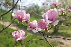 Magnolia cor-de-rosa na flor Fotos de Stock Royalty Free