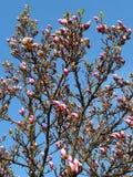 Magnolia cor-de-rosa no fundo do céu azul fotos de stock