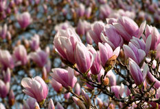 Magnolia Covered Tree Stock Images