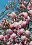Magnolia Covered Tree Royalty Free Stock Images