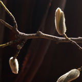 Magnolia Cucumber Tree Buds. A square format closeup view of the buds of early spring on this ancient species of Magnolia Cucumber Tree Stock Photo