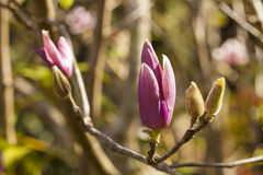 Magnolia. Cute pink Magnolia first bloom fresh blossom in the forest Royalty Free Stock Photography